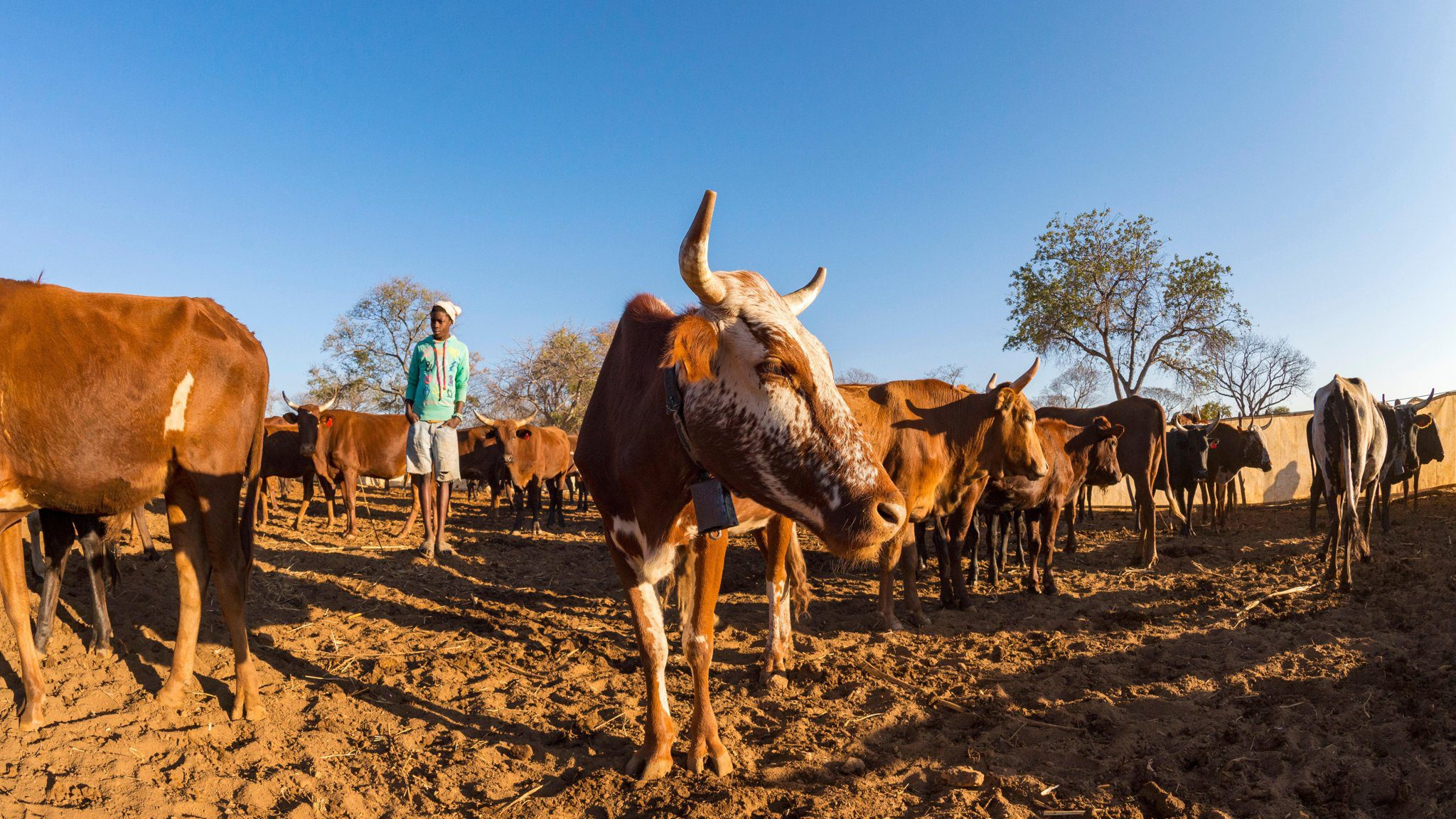 Cattle, Crops And Iron